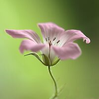 Delicate Geranium by Donna-R