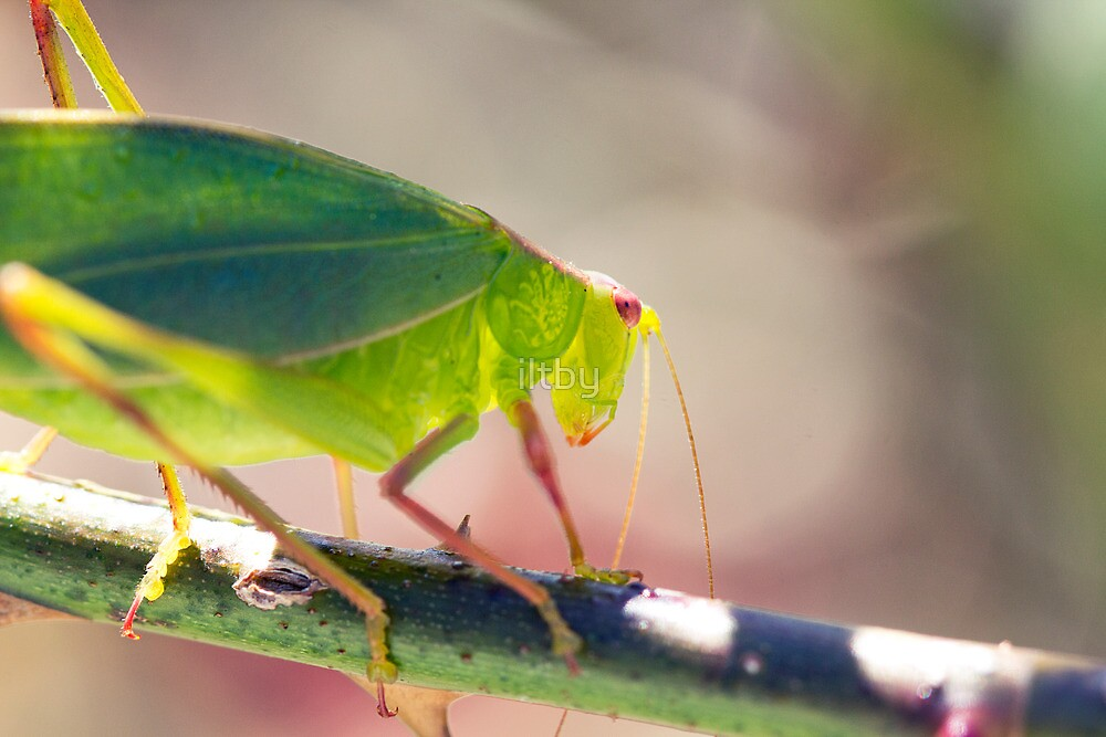 Translucent Beauty by iltby