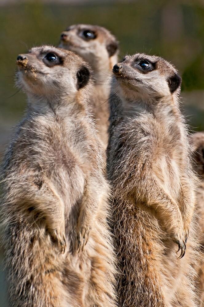 Watching Meerkats by FranWalding
