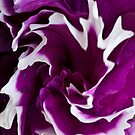 Petunia with a twirl by Steve Purnell