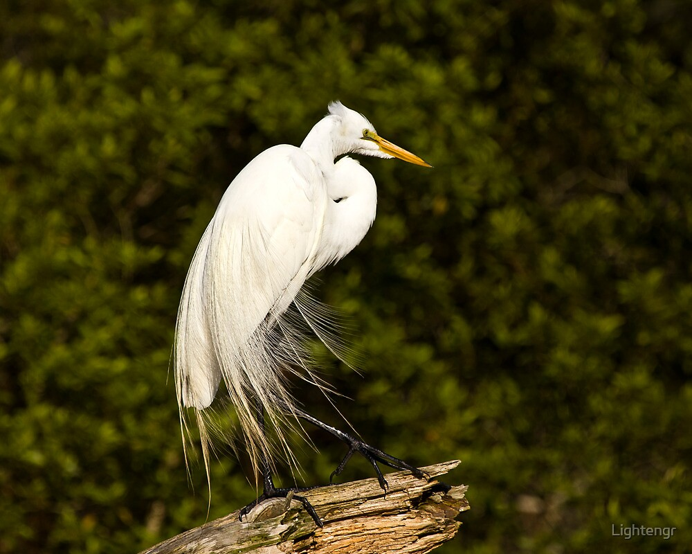 Great Egret - Chincoteague by Lightengr