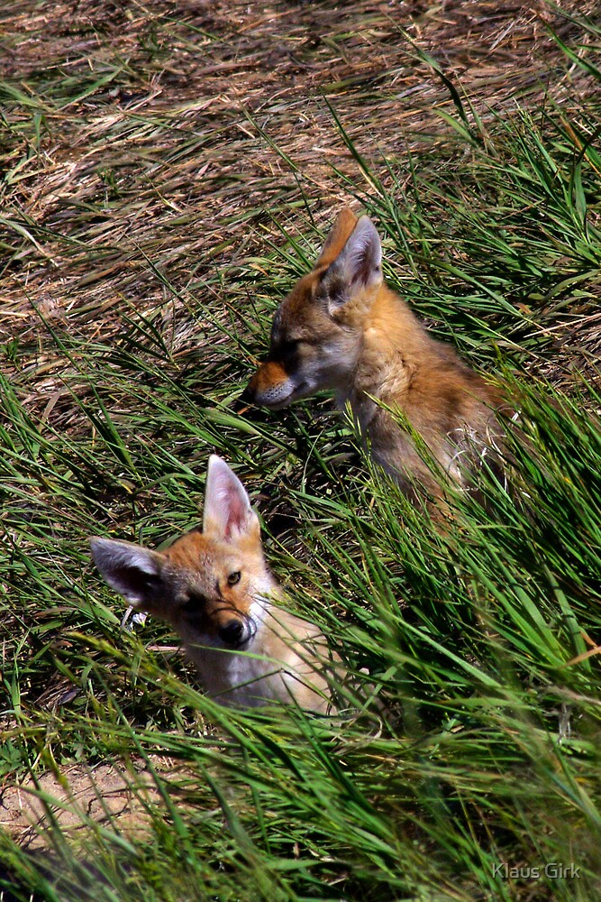 Pair of coyote pups by Klaus Girk