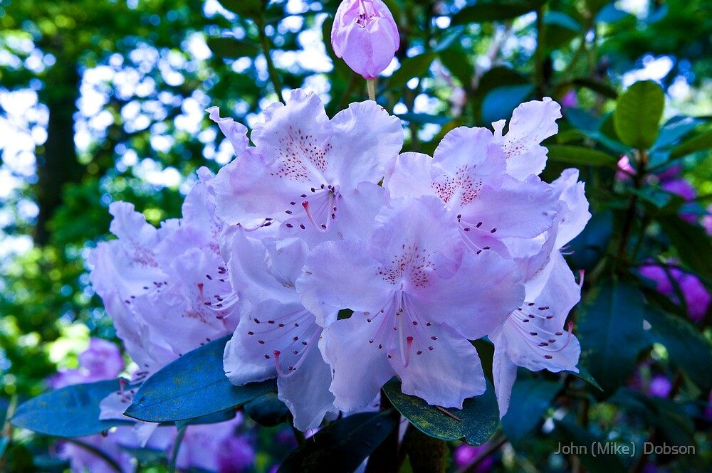 Rhododendron by John (Mike)  Dobson