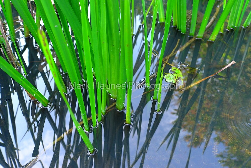 Green Reeds by Mark Haynes Photography