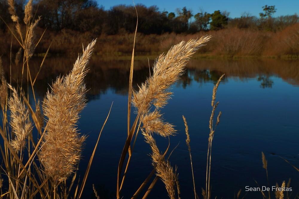 Golden Pampas Grass - South Esk River, Longford, Tasmania, Australia by PC1134