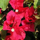 Bouganvilla closeup by Ron Russell
