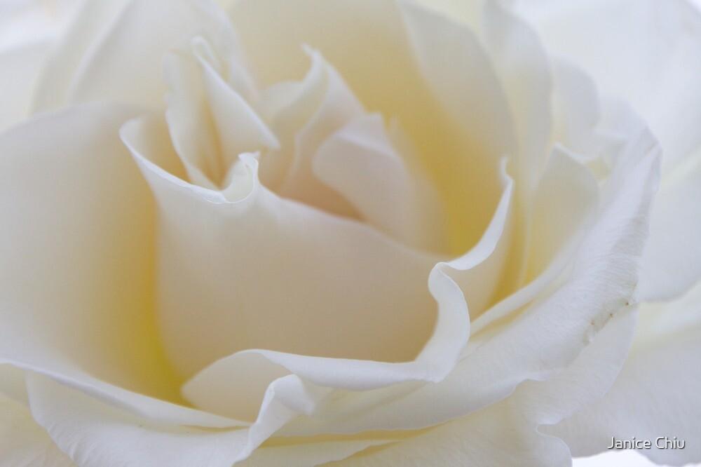 White Rose by Janice Chiu