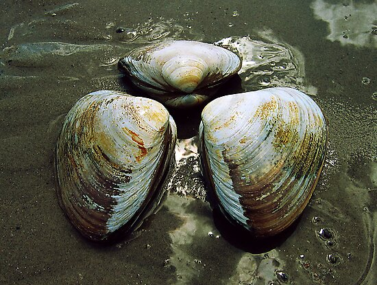 Clams by photonista