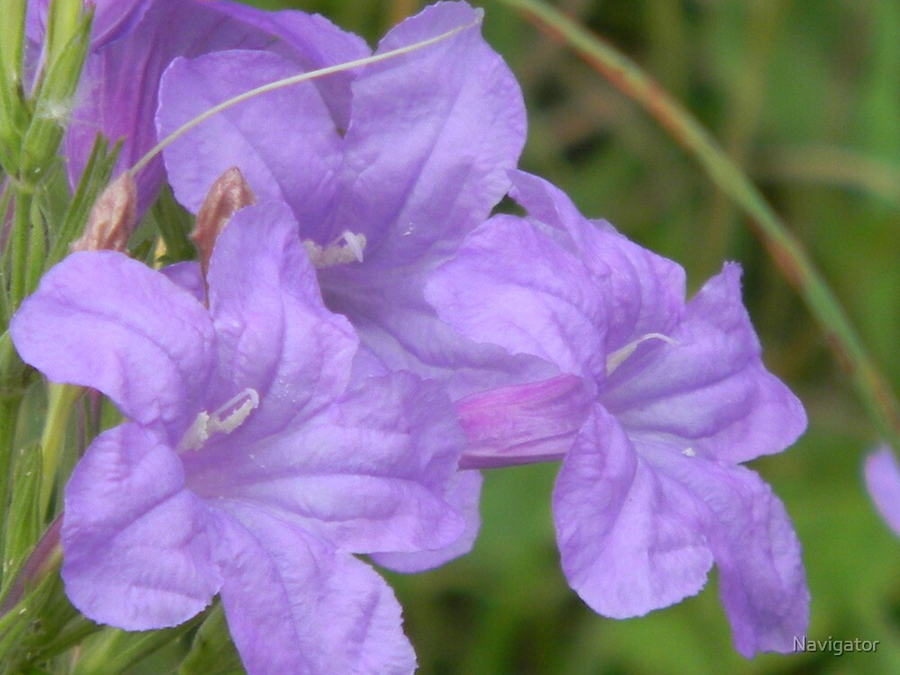 Wild Petunia Close-Up  -  View Larger by Navigator