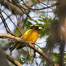 Yellow Bird - Evening Grosbeak # 1   by gypsykatz