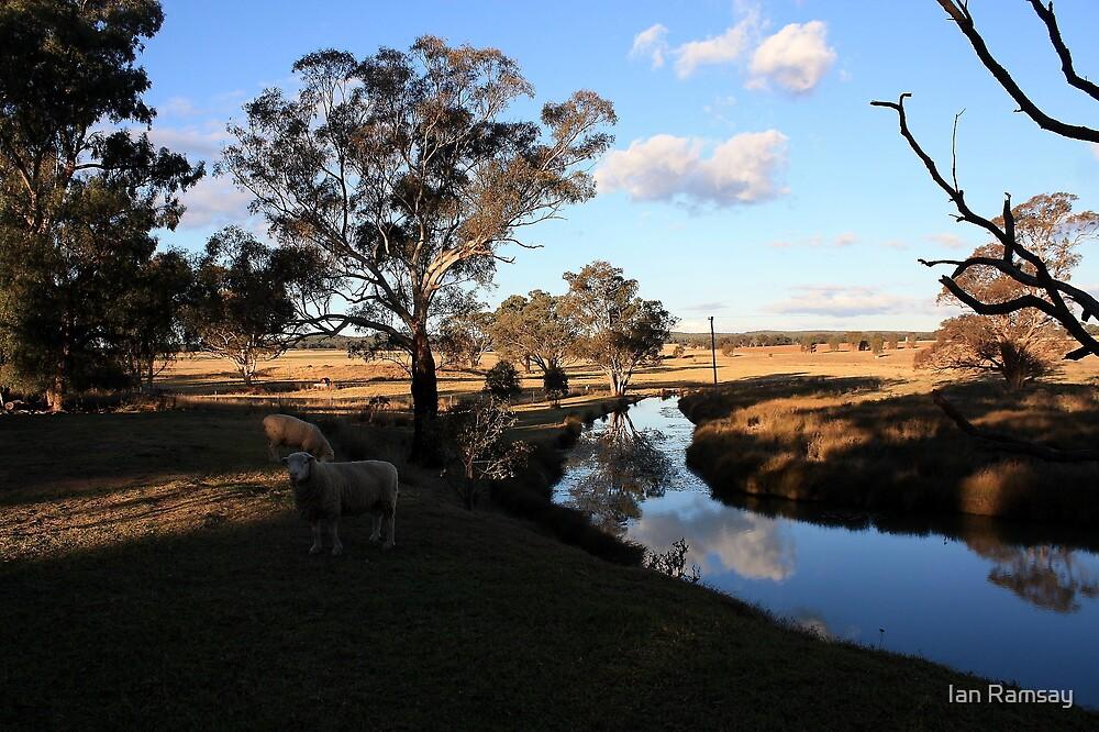 Grazing sheep, Goolma, NSW by Ian Ramsay
