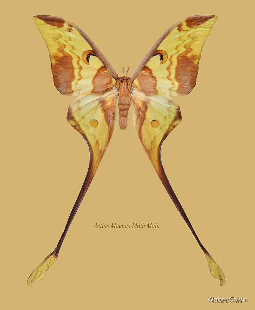 Aactias Maenas Moth Male by Walter Colvin