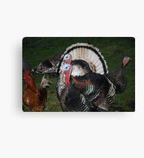 Turkeys! Canvas Print