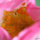 Dog rose beauty by Photos - Pauline Wherrell