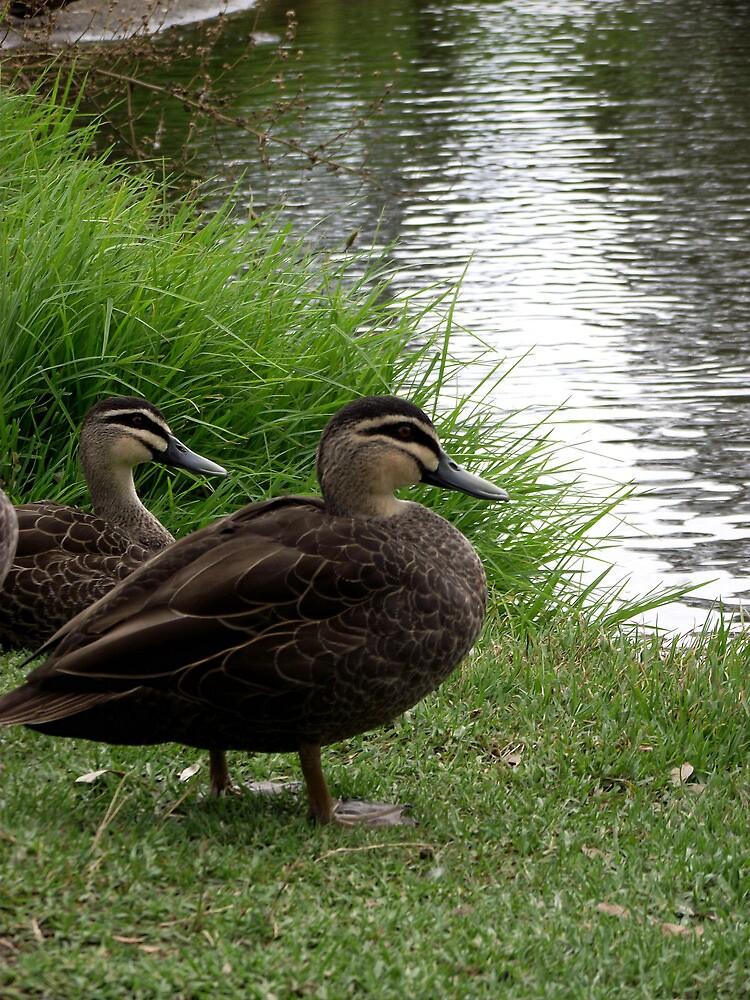 Ducks at Pond by SophiaDeLuna
