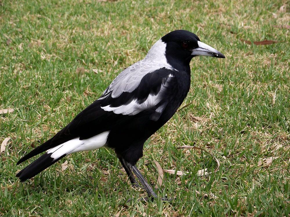 Australian Magpie by SophiaDeLuna