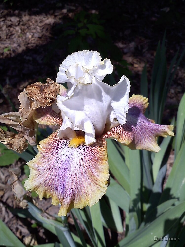 Two-toned Iris by Dot Crowe