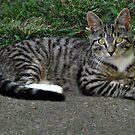 Sweet Little Stray Tiger Teenager Kitten [Mittens] by Jane Neill-Hancock