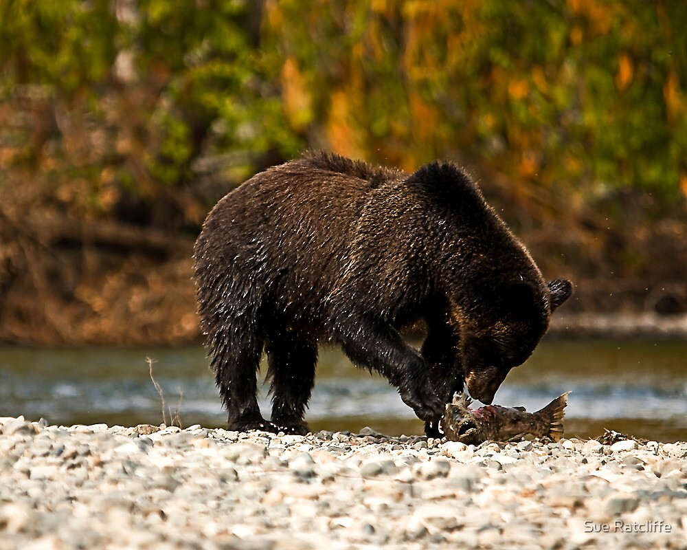 Young Grizzly Bear 2 - Bella Coola, B.C. by Sue Ratcliffe