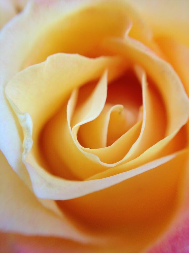 A Yellow Rose just for you! by Cheryl Oney