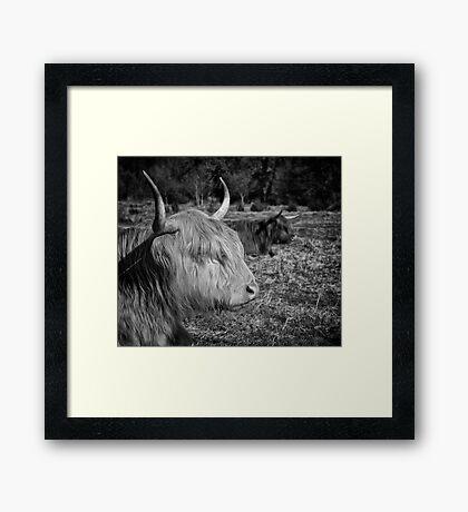 Highland Cattle Framed Print