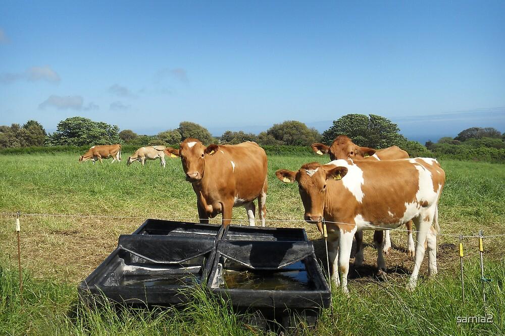 Guernsey Cows by sarnia2