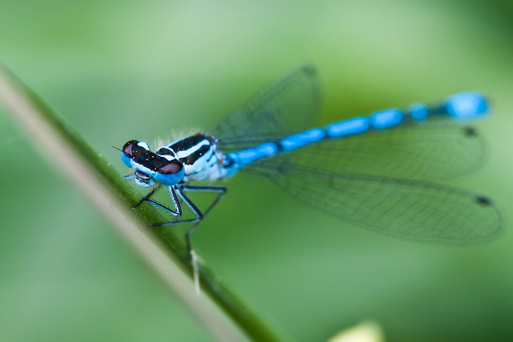 Common Blue Damselfly by RedMann