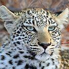 I am a pretty blue eyed leopard cub ! by jozi1