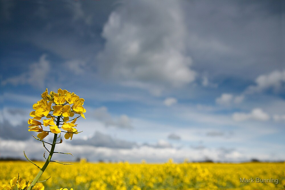 Rapeseed, Brassica napus by Mark Bunning