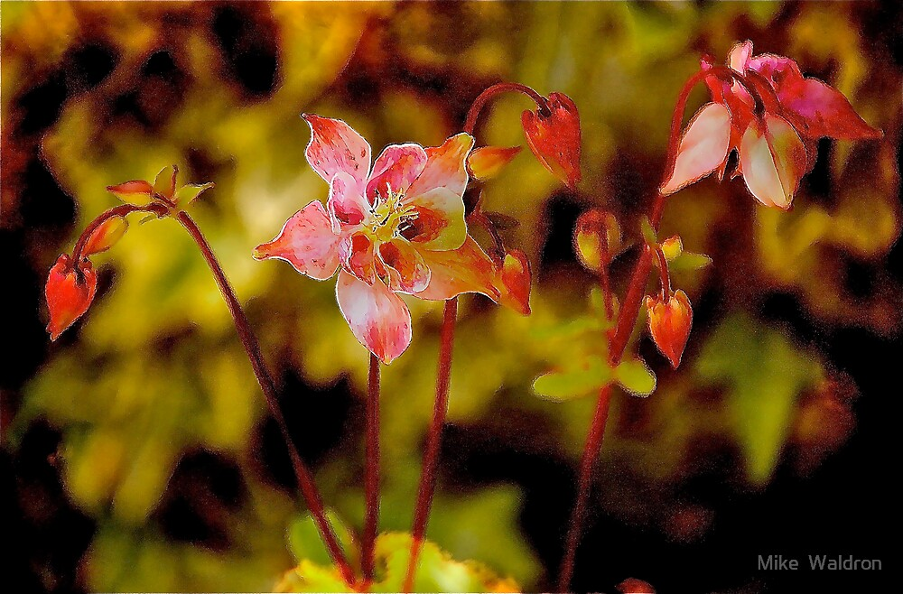 Aquilegia .. by Mike  Waldron
