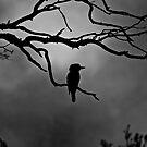 Kookaburra sits in the old gum tree by paul erwin