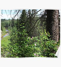 Alberta is Wild Rose Country Poster