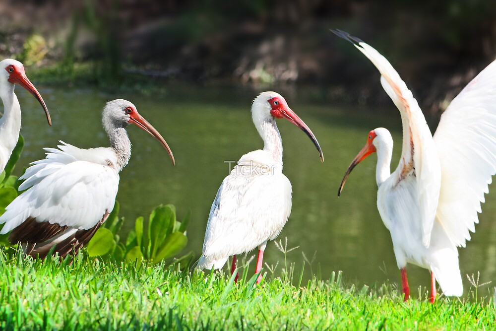 Ibis Family by Ticker