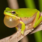 Calling Dwarf Tree Frog - Litoria fallax by Andrew Trevor-Jones