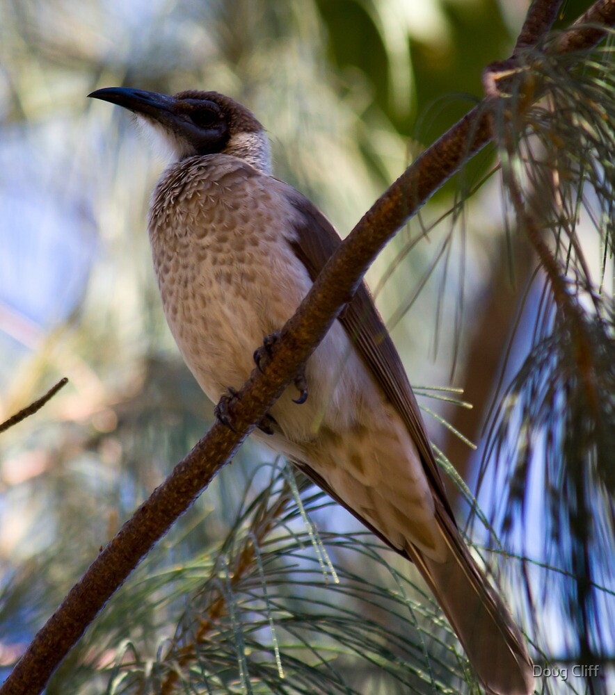 Little Friarbird by Doug Cliff