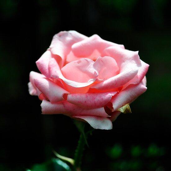 Pink Rose Close-up Poster by Van Nhan Ngo