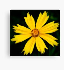 Yellow Cosmos Flower Close-up Stretched Canvas Print Canvas Print