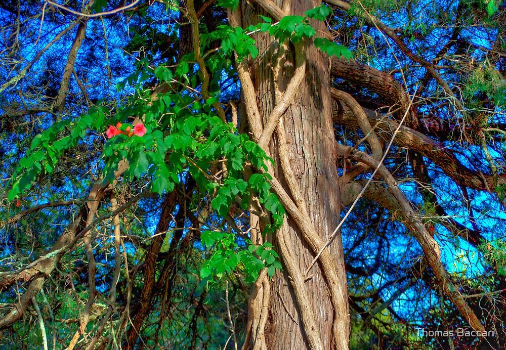 Cedar Tree No 2 + HDR by TJ Baccari Photography