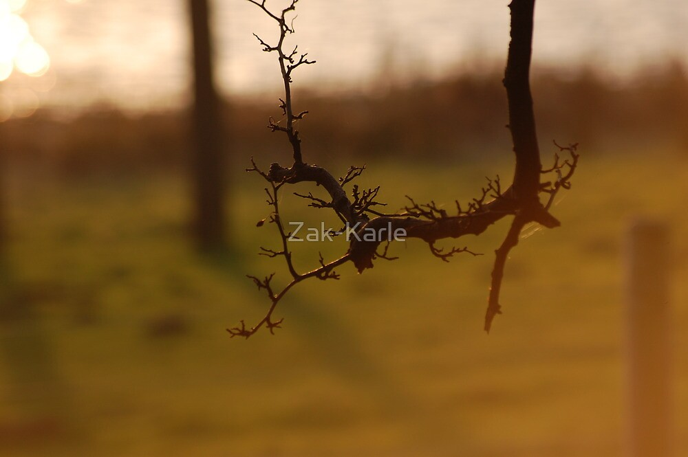 Tree branch in red sunset  by Zak-Karle