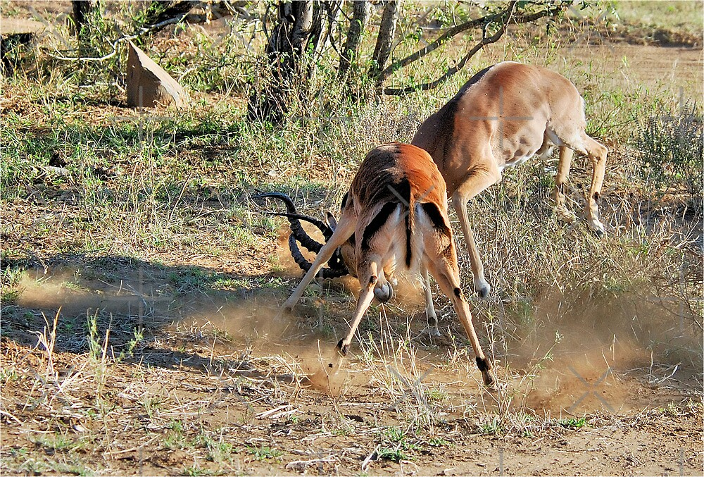 TOLD YOU THIS IS MY SPACE! - Impala interaction - by Magriet Meintjes