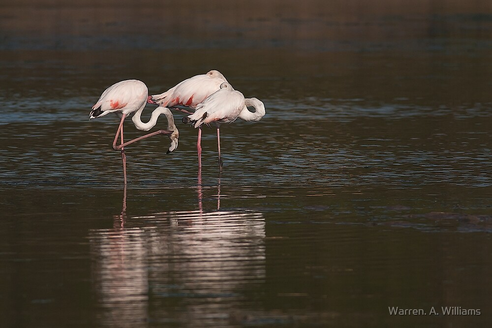 Flamingoes by Warren. A. Williams
