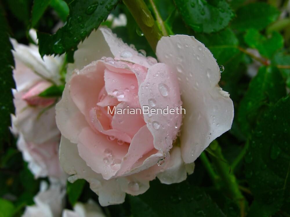Pink pleasure rose by MarianBendeth