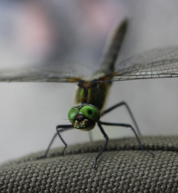 Dragonfly  by Aaron  Wahab