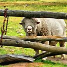 Sheep With A Furry Face by Eve Parry