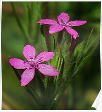 Dainty Pinks Poster