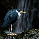Pied Heron in Waterfall by Lloyd  Armstrong