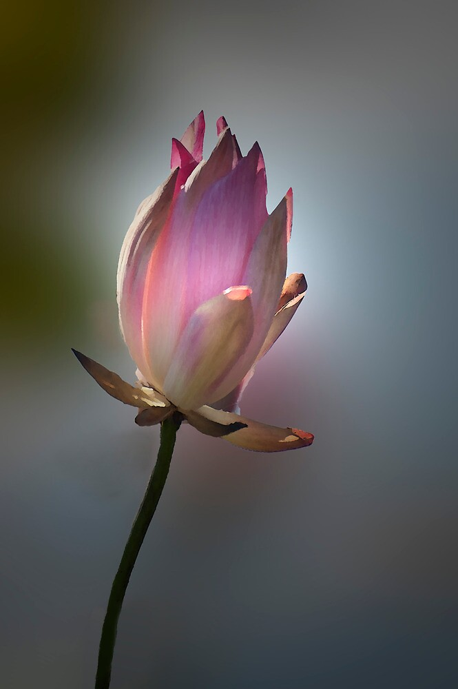 Let there be light - pink waterlilly by Jenny Dean