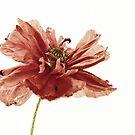 Poppy by Henrietta Hassinen