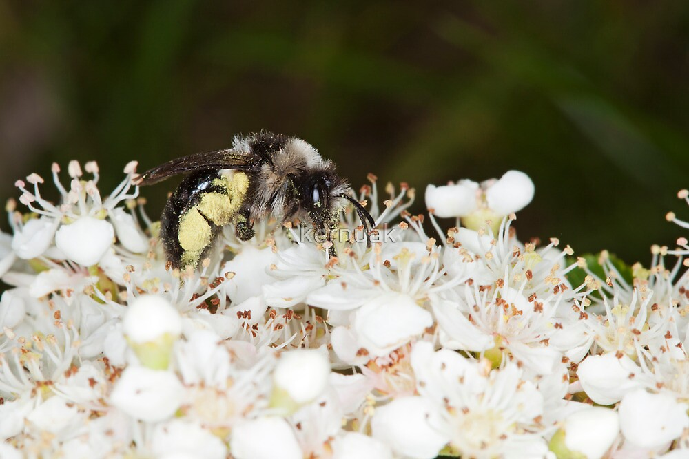 Ashy Mining Bee on Pyracantha by kernuak