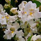 Catalpa Tree Flowers by Shulie1